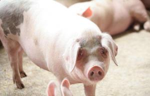 中国对美猪肉加征关税