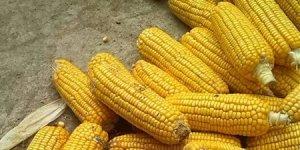 临储传言持续发酵 玉米价格或将跌落高位