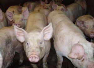 10种猪腹泻性传染病的鉴别与诊断,太全了,赶紧收藏!