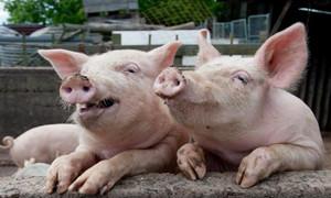 济宁任城区开展生猪价格应急监测