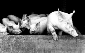 """连云港市城管向""""泔水猪""""养殖利益链说""""不"""""""