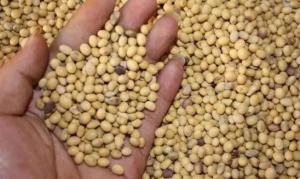为什么中国大量进口美国大豆而不收购我们国内自己产的大豆?