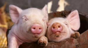 国库要狂甩玉米 种地的养猪的,你们准备好了吗?