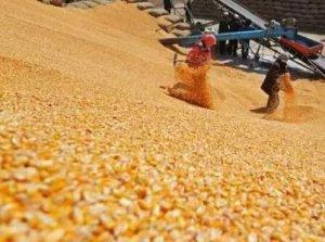 """玉米价格""""步步惊心 步步低"""",后市如何"""