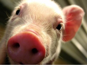 注意!最近高烧、母猪