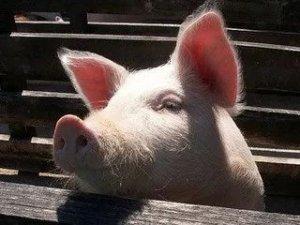 100万!生猪保险解决资金周转问题,重庆