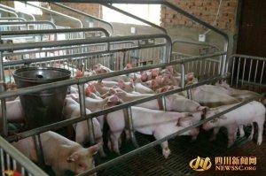 """从下岗职工到""""猪状元"""" ——梓潼县仁和镇张雄发展生猪养殖纪实"""