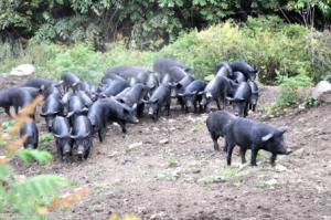 安徽:大学毕业夫妻返乡创业养猪5万创业五年后年销售额300万