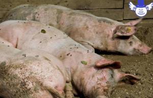 眼睛是疾病的窗户,当猪的眼睛出现这些情况时就糟了