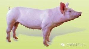 后备母猪饲养管理操作规程