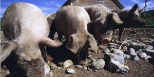 猪价危险!养猪人注意,猪价又开始有下跌的倾向!
