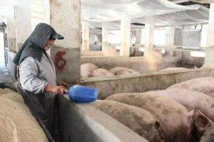 为什么养猪业一定要淘汰散养户?这才是最根本的原因!