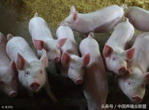 三大理由告诉你,现在猪价上涨就是个拖?