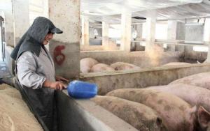 为什么有些养猪人会被淘汰?原因其实只有这一点!