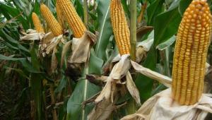 农业农村部:玉米种植面积调减5000万亩基础上 今年有望继续调减