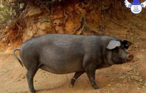猪价行情虽然比较低迷