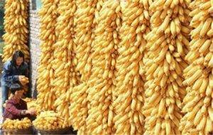 临储玉米时代 玉米价格还要下跌吗?