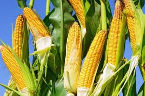 农业农村部:农户要避免盲目扩张玉米生产