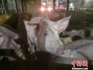 四川首次直接从美国引进990头种猪