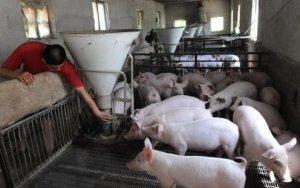 水太深?合同猪,有公司出仔猪饲料和防疫