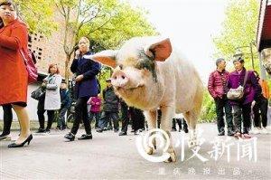 """""""猪坚强""""已相当于人类88岁 汶川地震被埋36天"""