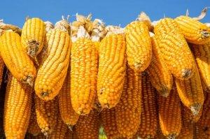华北玉米反弹,市场跌势结束? 你想多了!