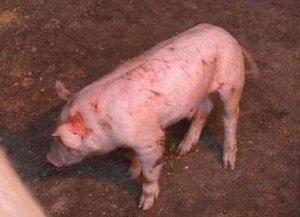 猪外伤怎么处理?让你
