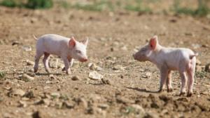 """多方因素导致生猪价格总体呈""""阶梯式""""下滑"""