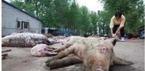 大猪无任何症状突然死