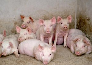 11个猪场夏季降温方法,总有一款是你能用得上的