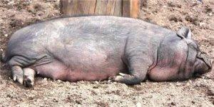 这样喂猪可能会导致母猪瘫痪,可千万要长点心!