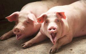跌跌不休,猪价击穿成本线防范风险,养殖户该如何应对