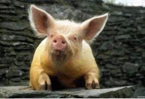 猪转栏排粪地点让人烦心,怎么办?