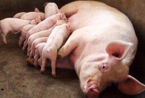 换个季节养猪都这么讲究?看看吧!别让你的猪遭罪了……
