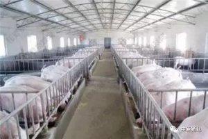 董广林:猪场从400头母猪计划缩减到200头,他们准备干什么?