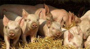 牧原股份4月商品猪销售均价跌破5元/斤