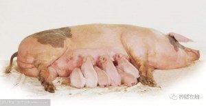 不要怪母猪产后不食,是你没有做消炎工作!