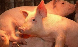 温氏集团大庄乡养猪小区投产,第一批1500余头育肥仔猪正式进场