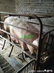 你的猪场还在发生损失惨重的腹泻问题?请你看看这两个案例?