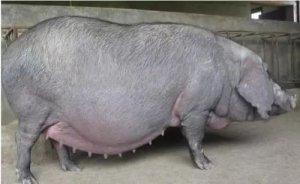 妊娠母猪9大用药禁忌,你可知晓!