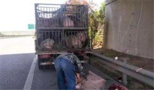 猪:求放过!山东一货车司机嫌猪不听话 高速上直接杀猪!