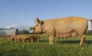 养猪规模越大越好?正大康地、唐人神等更看好家庭农场