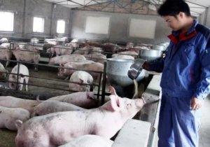 散户的大量退市,规模化养殖可能导致猪周期时间会更长!