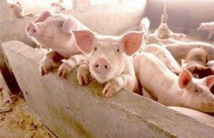 现在养猪人还有必要补栏吗??