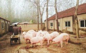 好消息!多地有触底反弹迹象,部分地区标猪一猪难求