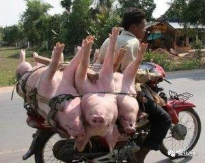 猪周期拉长,今明两年生猪供给还要增长?