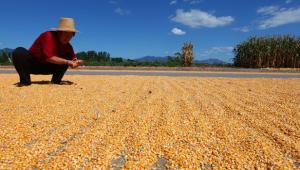 本轮玉米价格已持续上涨7天!会继续或大