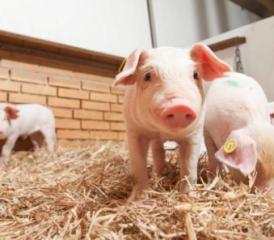 养猪王国丹麦养有机猪是这样做的