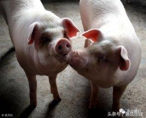 """中国规模养猪""""十不靠谱""""!"""