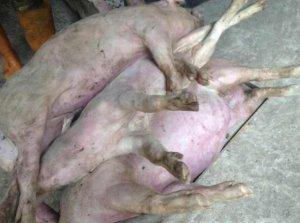 生猪价格刚上涨几天,这个猪场就死了40多头200斤的大肥猪!